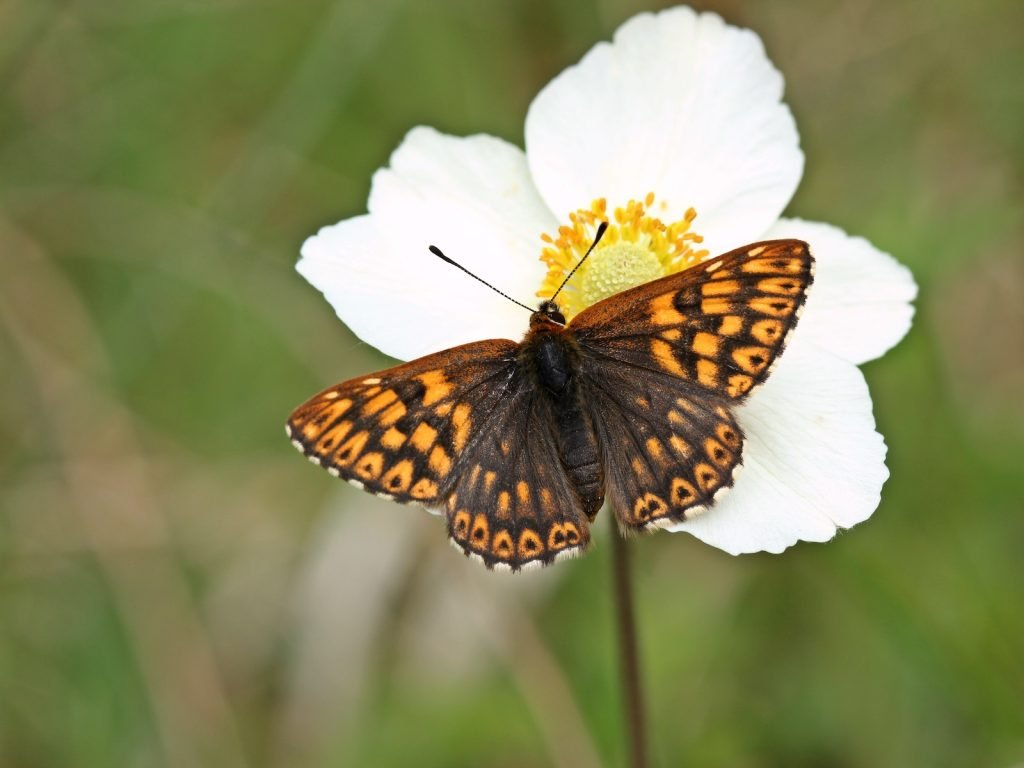Though the Duke of Burgundy is currently classified as a species of