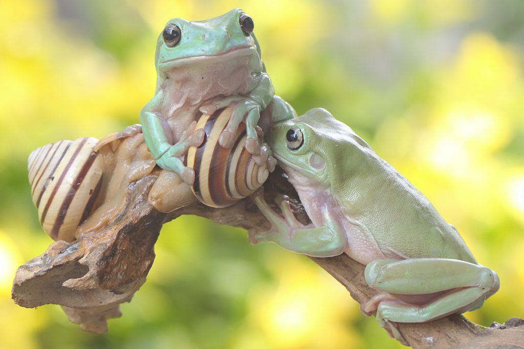 The dumpy tree frog has a very unflattering name, but there's a reason behind it.