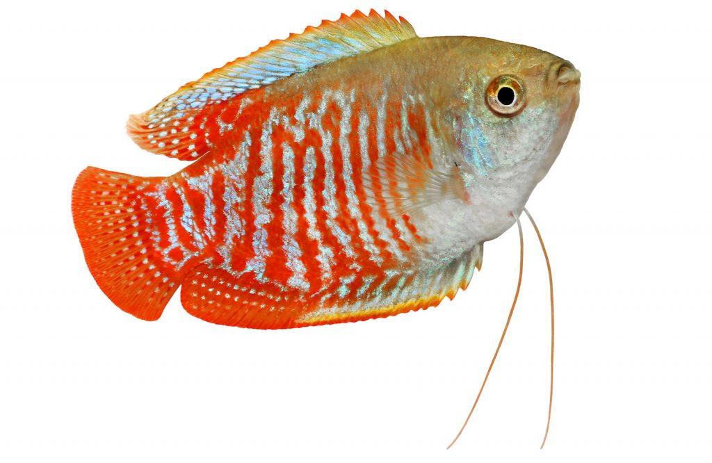 The smaller-sized dwarf gourami is a good choice of freshwater aquarium fish.