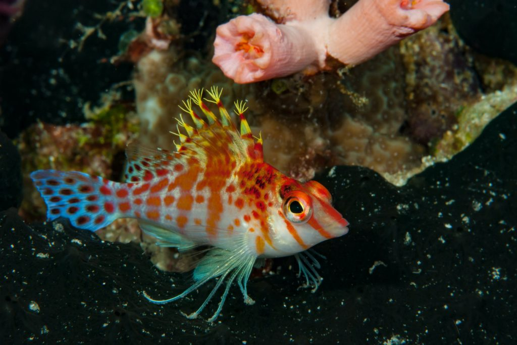 For instance, male dwarf hawkfish usually claim groups of several females.