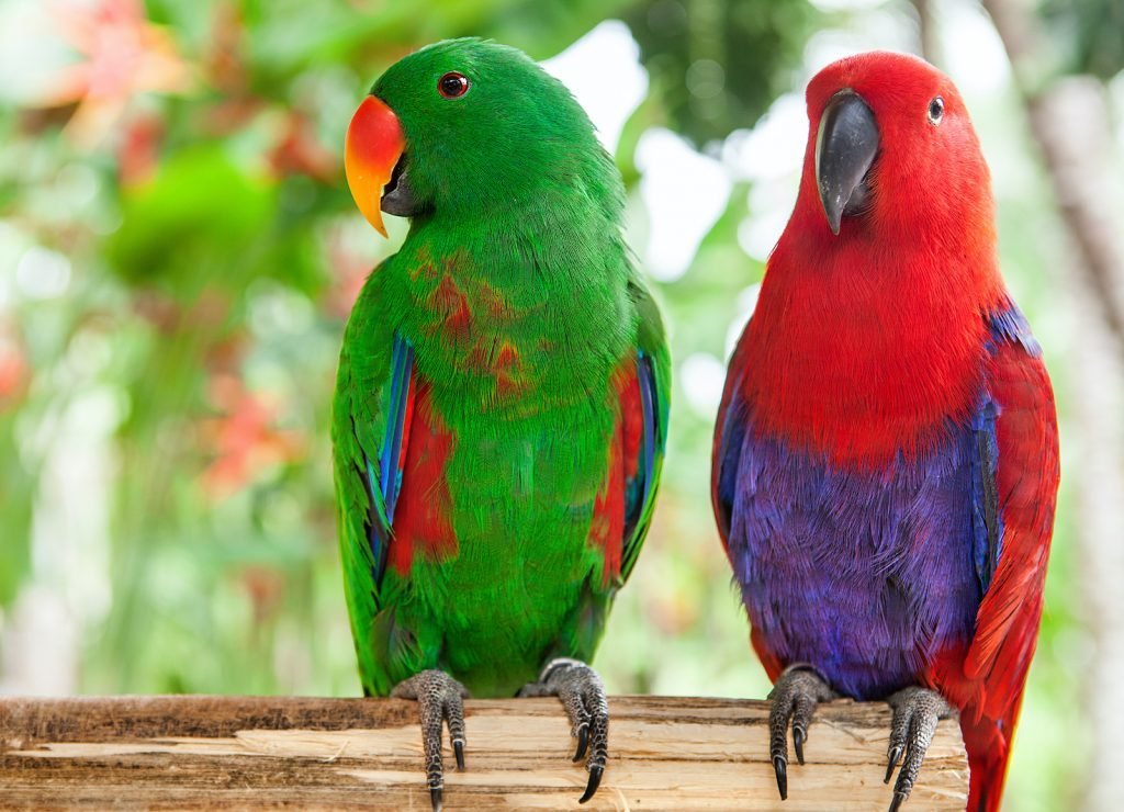 Females are bright red so they can alert other Eclectus parrots to nesting sites, which are relatively hard to find.