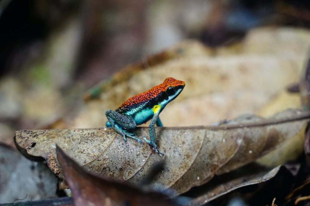 Just like almost all other poisonous frogs, the Ecuador poison frog has bright and memorable colors.
