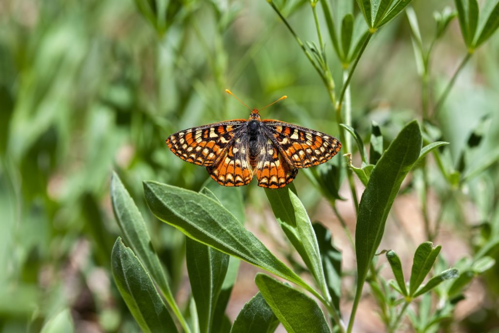 Though the Edith's checkerspot has a wide range, global warming poses a significant threat to its populations, especially in warmer areas.