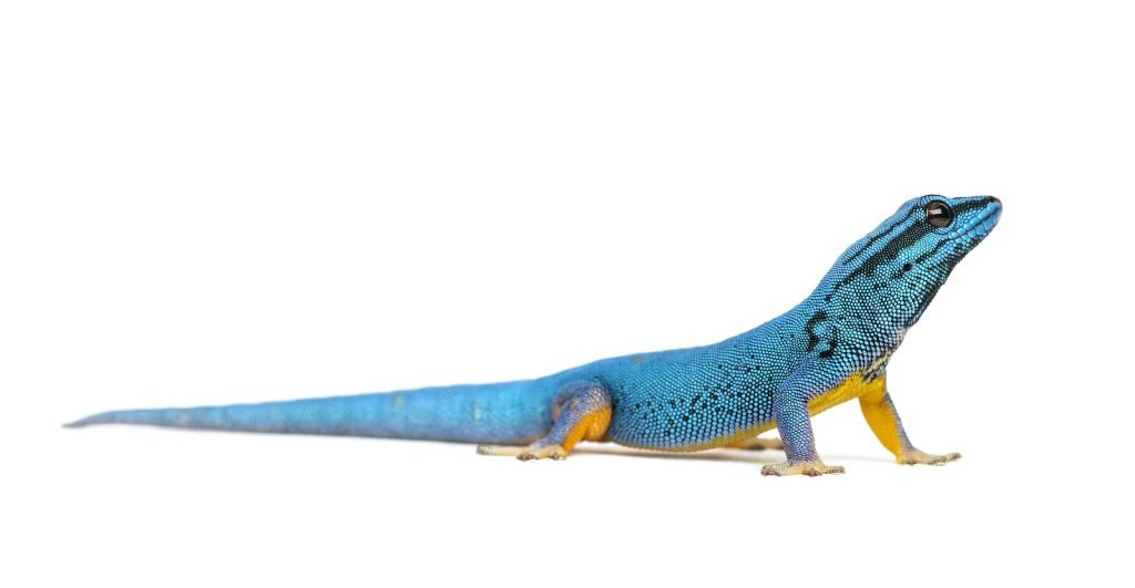 Electric blue geckos are critically endangered, and breeding them in captivity usually is somewhat difficult.