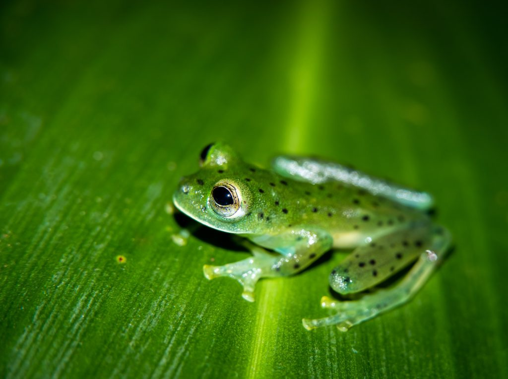 Emerald Glass Frogs have light green to deep green bodies with a few black spots.