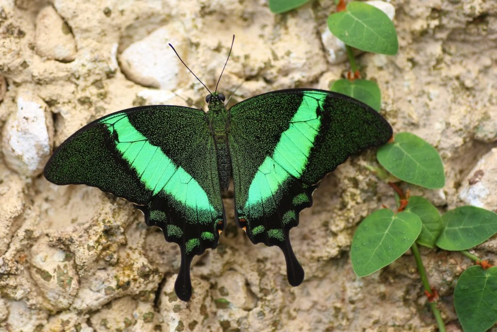 While the emerald swallowtail certainly appears green, that color isn't due to pigmentation.