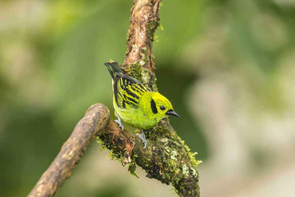 With one look at the emerald tanager, you'll be able to see how this bird got its name.