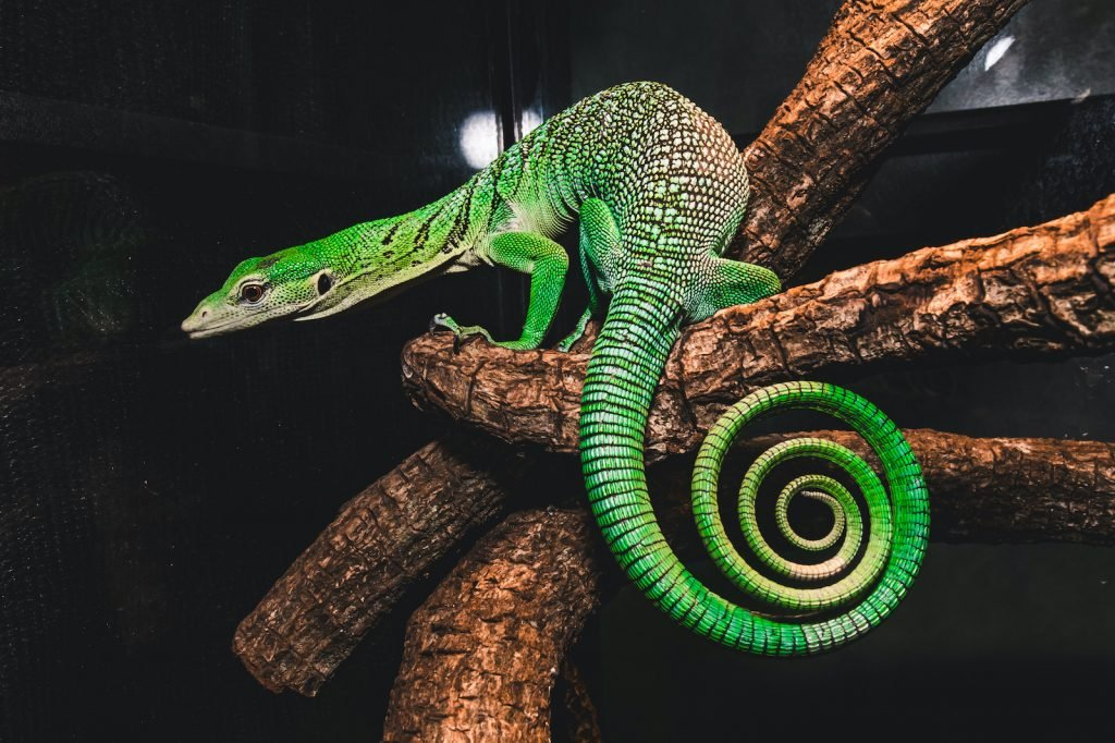 Many monitor lizards have somewhat dull coloring, but the brilliant green of the emerald tree monitor makes it an especially sought-after choice for both reptile collectors and zoos.