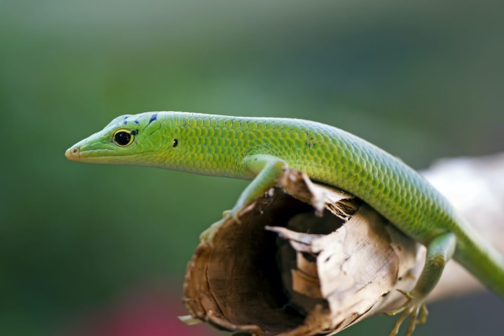 In the wild, emerald tree skinks can be very entertaining to watch.