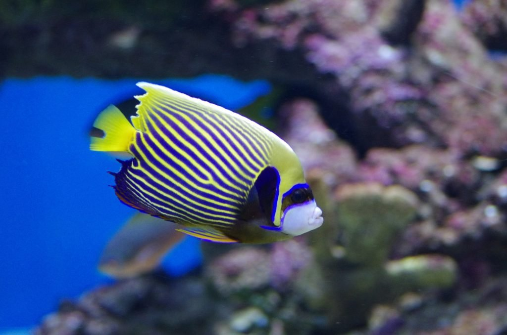 The emperor angelfish are some of the most beautiful fish in the sea.