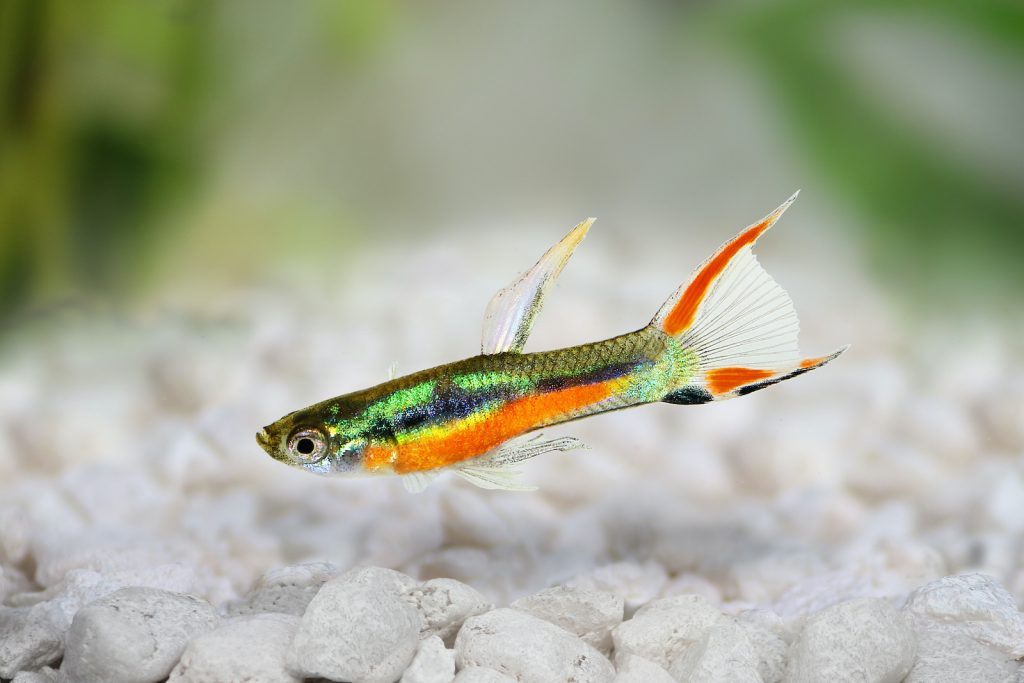 You don't usually see the Endler's livebearer in pet stores.