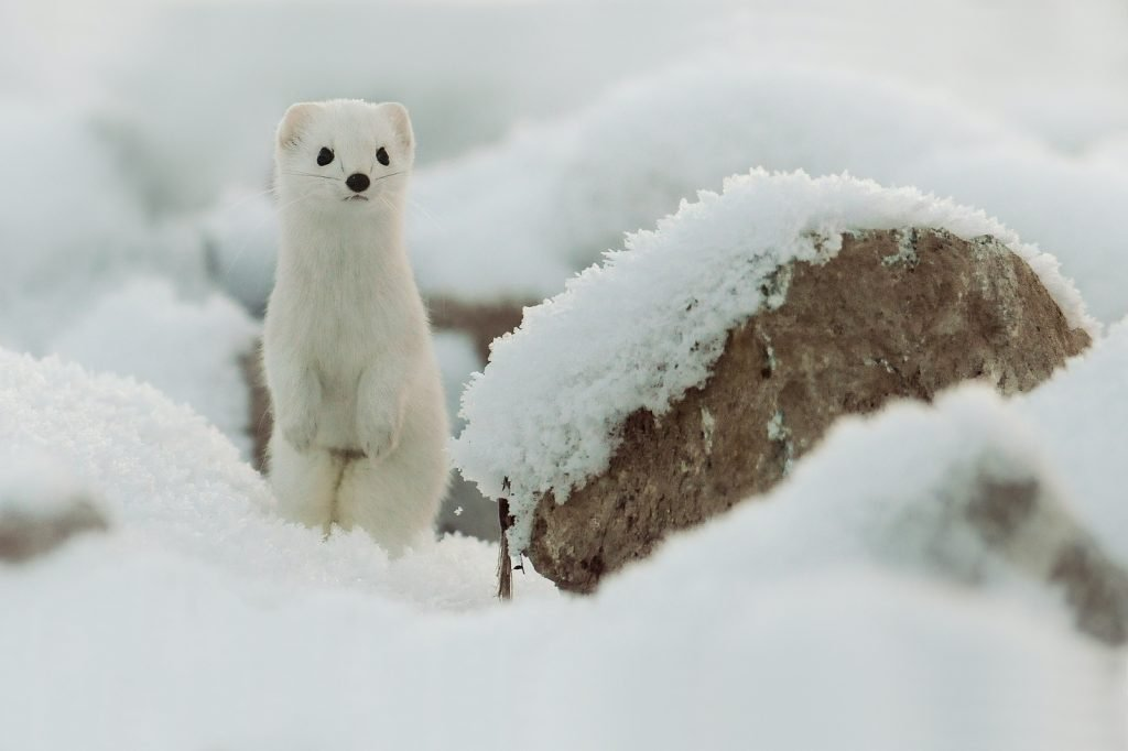 Ermines turn white in winter months.