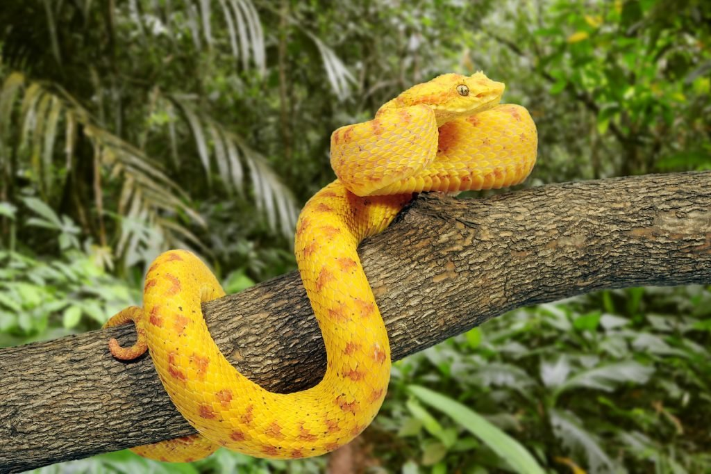 The eyelash viper gets its name from its unusual, eyelash-like scales above the eyes.
