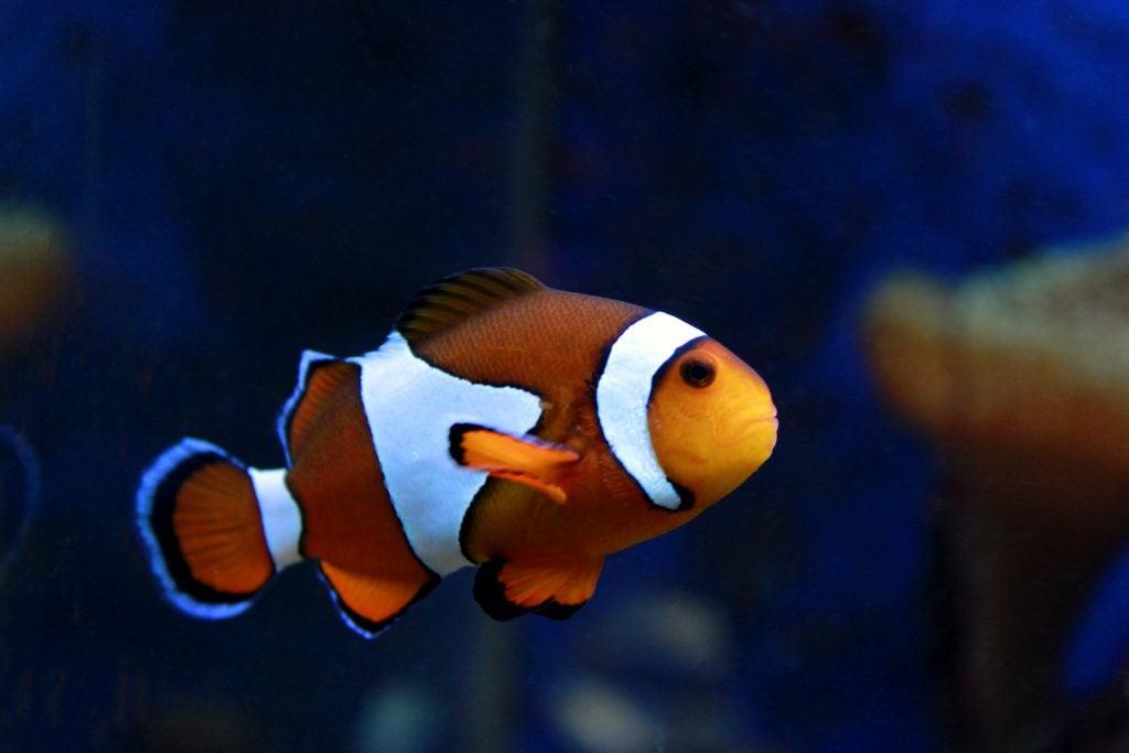 As juveniles, false percula clownfish select an anemone to serve as the host.