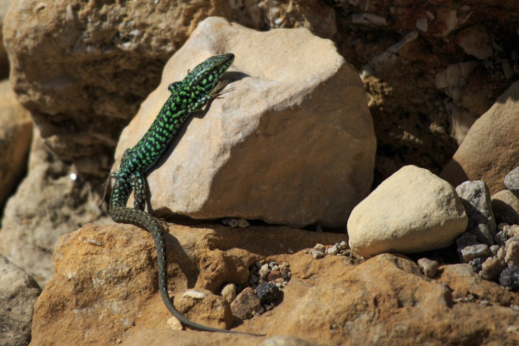 The lizard species known as the Filfola lizard is found in many Mediterranean areas.