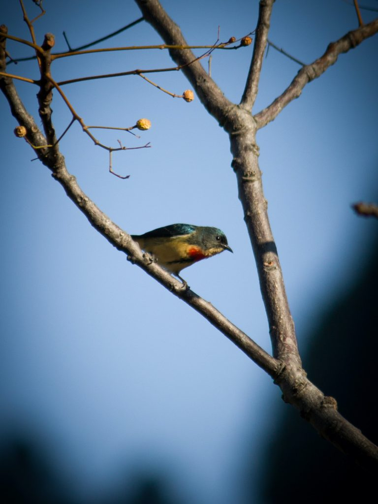 The fire-breasted flowerpecker plays an important role in dispersing plant seeds.