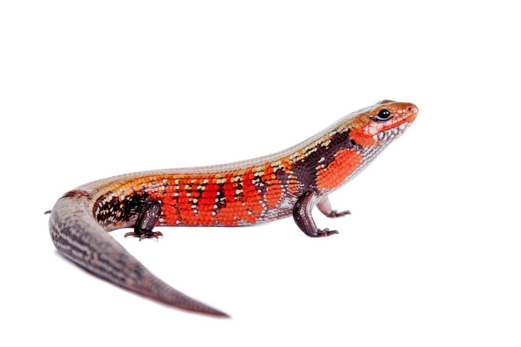 The Fire Skink is one of the most colorful members of the skink family.