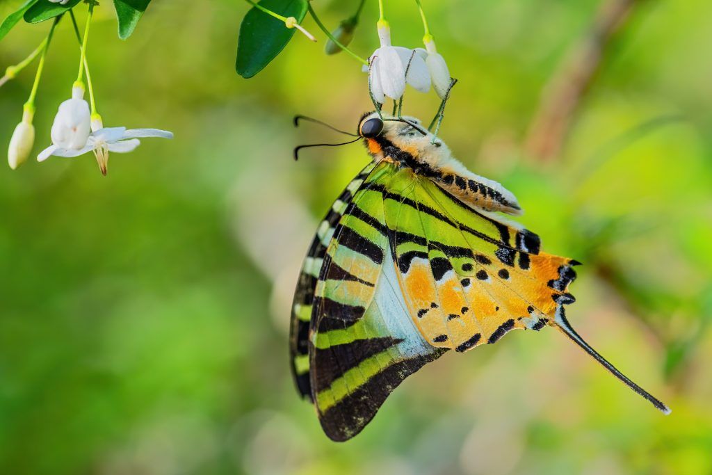 The Five Bar Swordtail is eye-catching both in terms of shape and color.