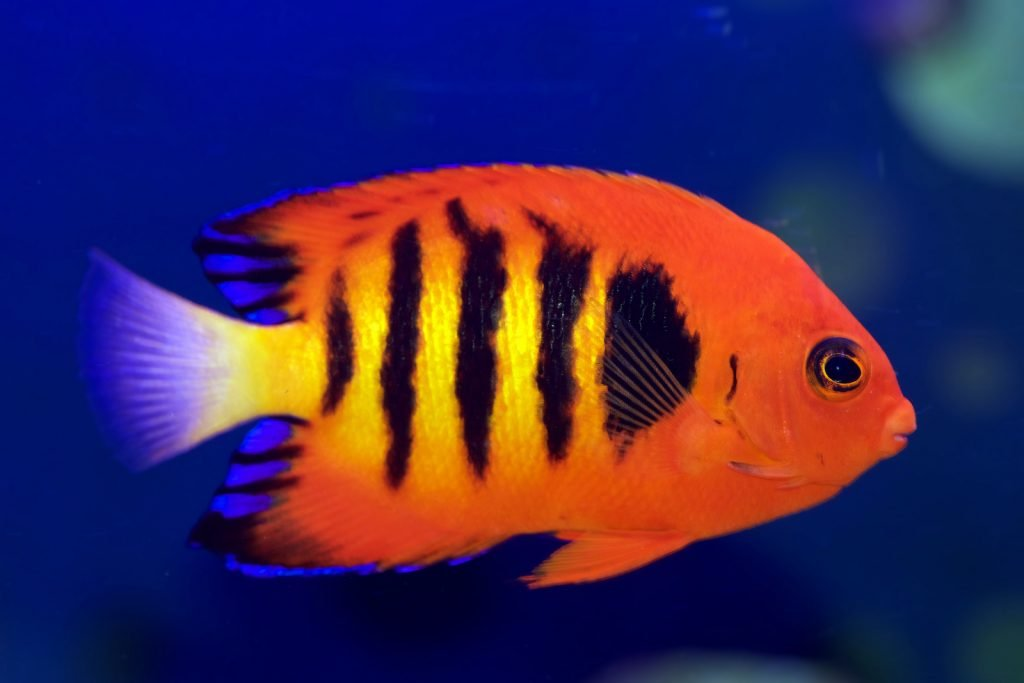 The flame angelfish are popular aquarium fish thanks to their brilliant colors.