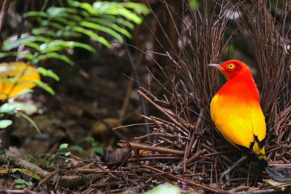 Flame Bowerbird was even the subject of a documentary,Dancers on Fire, that aired on the Smithsonian Channel.