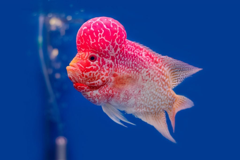 In the world of aquarium hobbyists, flowerhorn cichlids are particularly popular in Asia.