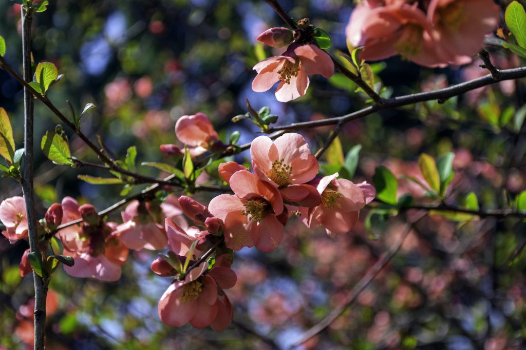 The flowering quince can bring a lot of variety to a garden.