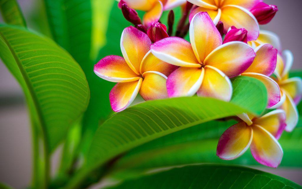 Frangipani is used to make leis in Hawaiian culture.