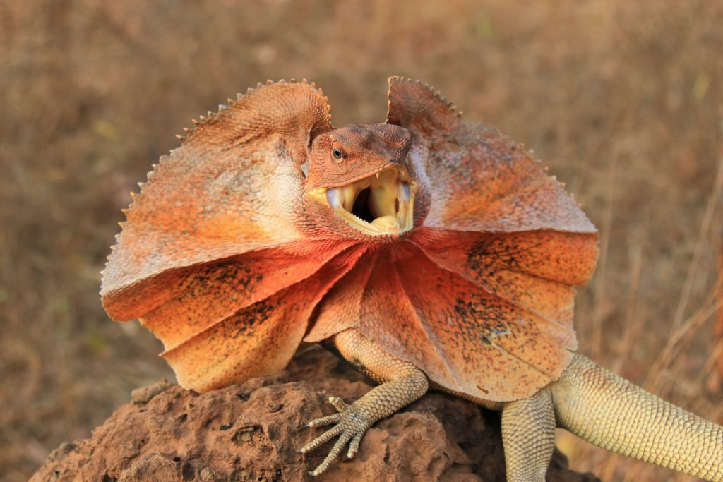 Frilled Lizards are usually colored so they can camouflage when their frills are not opened.