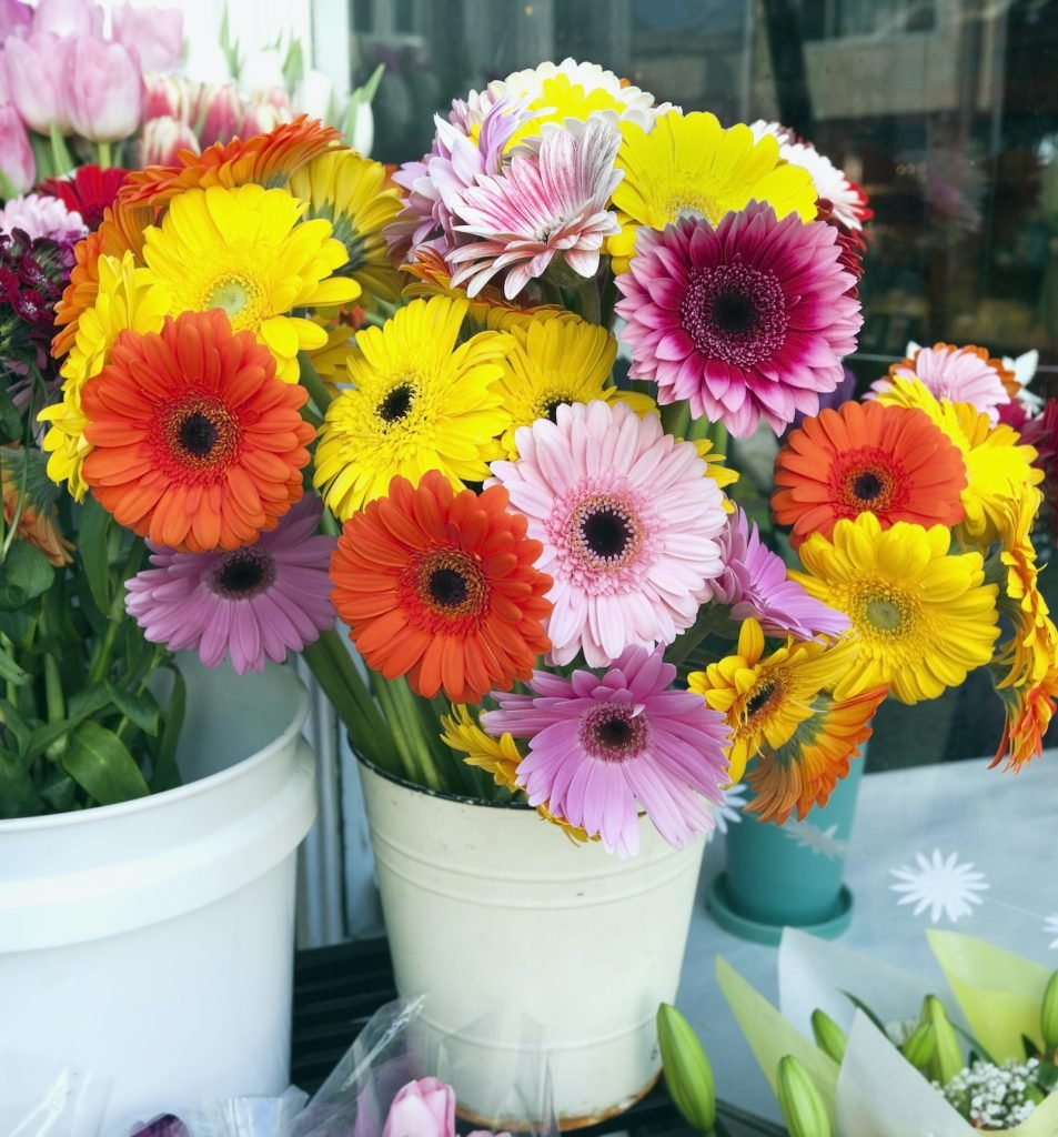 Gerbera Daisies are some of the world's most cheerful flowers.