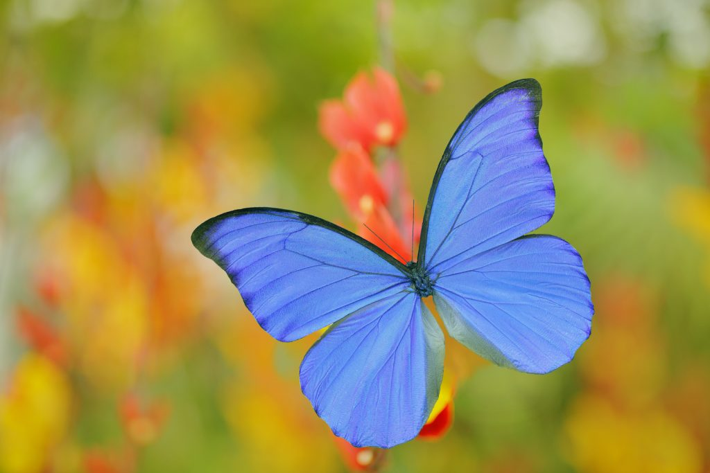 Virtually every list of colorful butterflies includes some variant of the blue morpho.