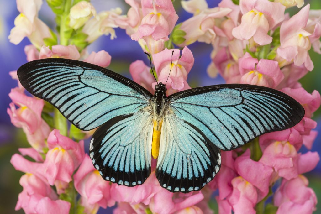 While the giant blue swallowtail isn't the world's largest butterfly, it's certainly close.