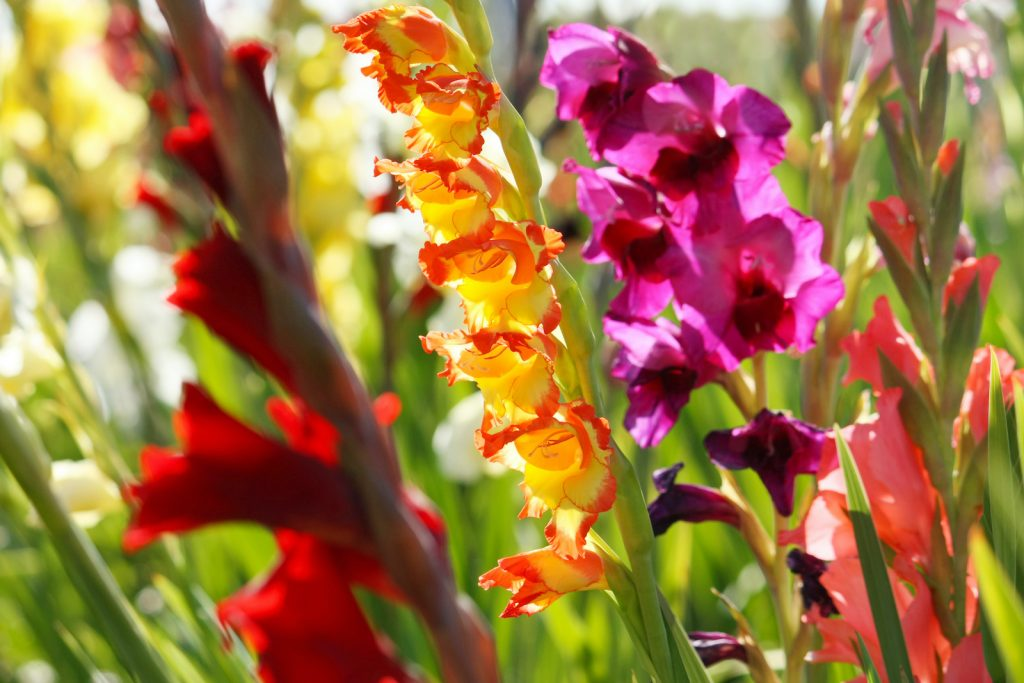 Gladiolusis a genus including hundreds of flower species.