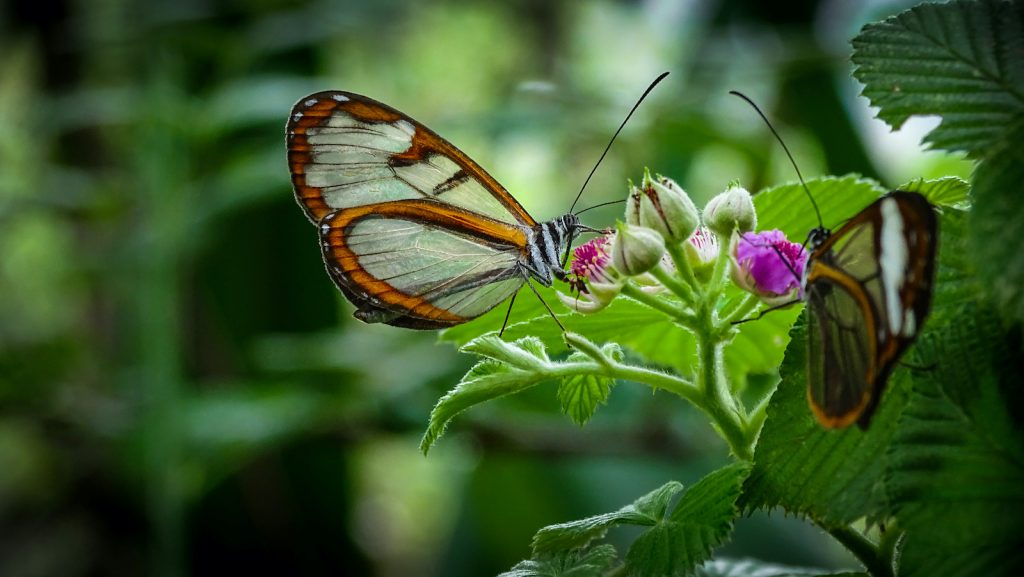 The Glasswing Butterfly has wings that are primarily clear.