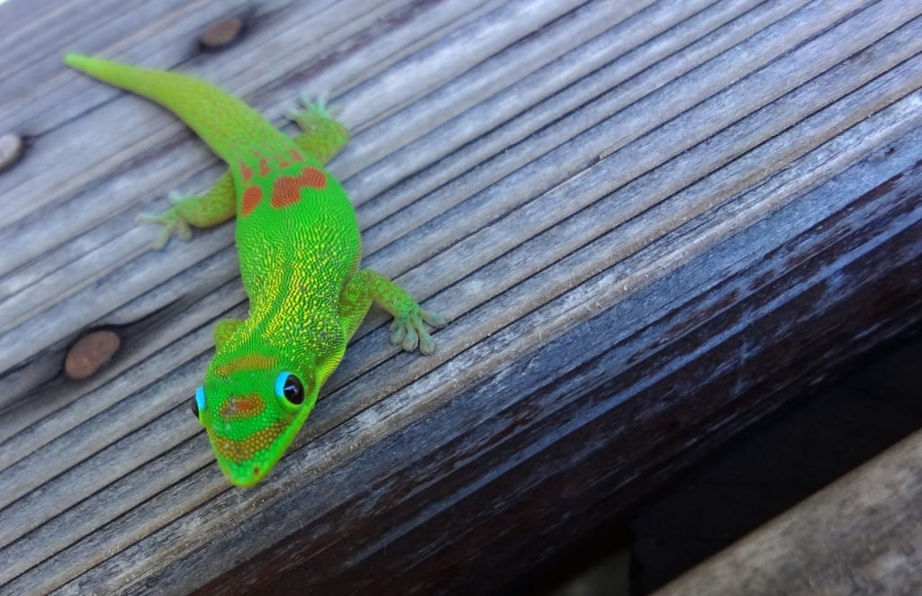 The Gold Dust Day Gecko might look familiar.