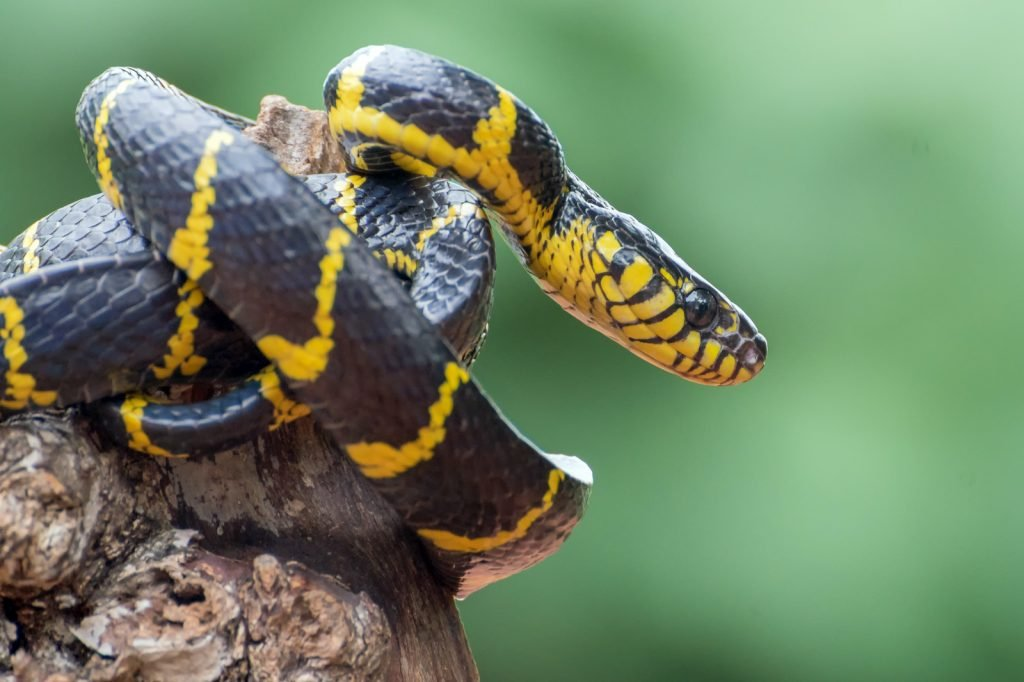 The gold-ringed cat snake (also called the mangrove snake) is sometimes kept by experienced reptile keepers.