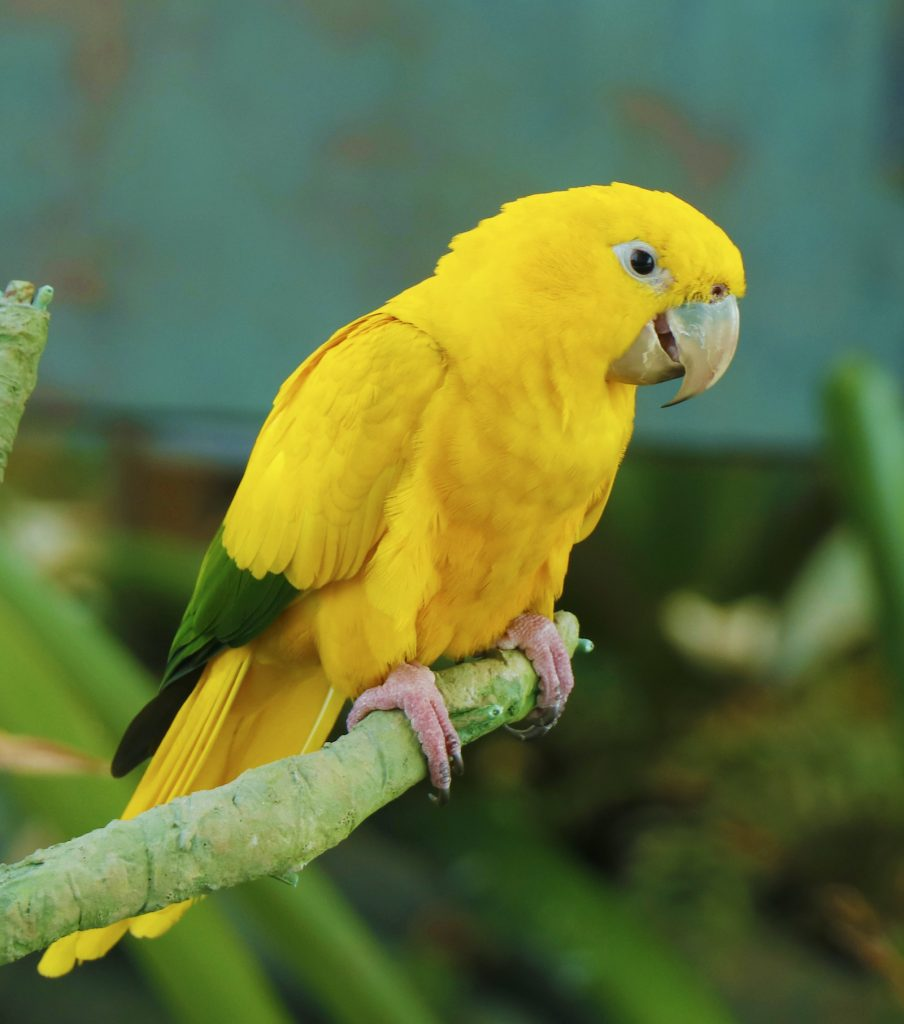 The golden parakeet, often called the golden conure, is a species considered to be vulnerable to extinction.