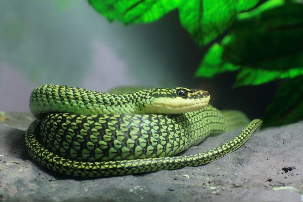 The Golden Tree Snake is sometimes called the golden flying snake.