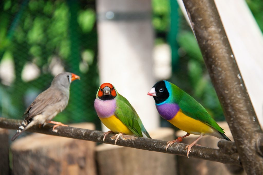 In the wild, Gouldian finches are considered to be a near-threatened species.