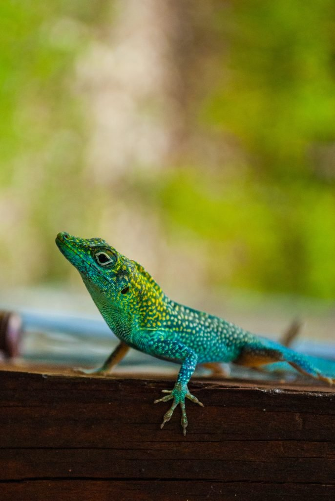 The Grand Cayman anole is one of the lizard species that can shed its tail if it is attacked.