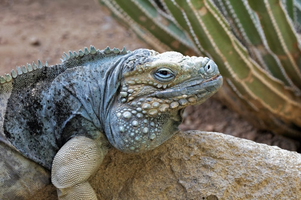 The blue iguana lives longer than many other lizard species; it can live to be 60 years old or more.