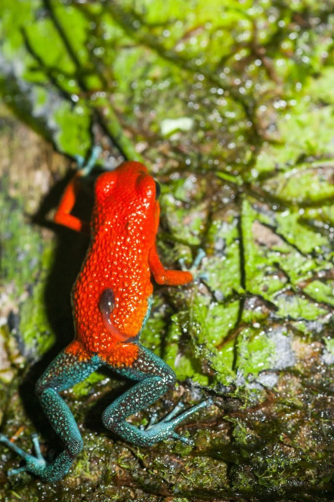 The granular poison frog gets its name from the grainy surface of the skin on its back.