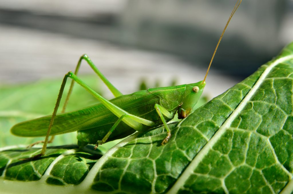 Young green grasshopper eating leaves