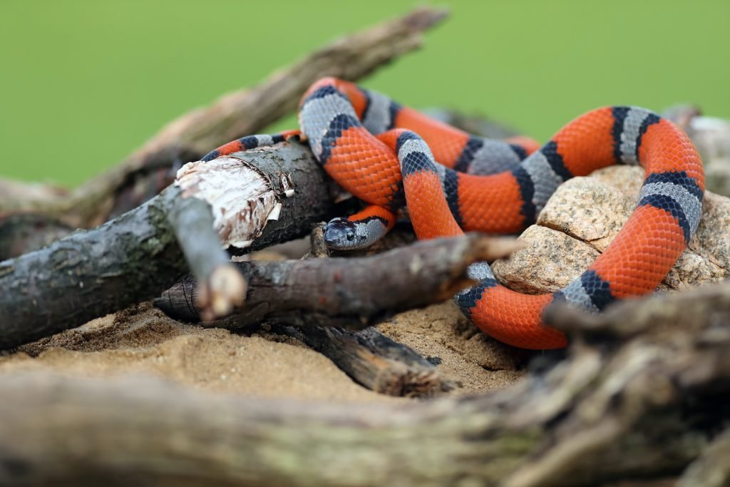 Despite these bright patches, the gray-banded kingsnake is not venomous.