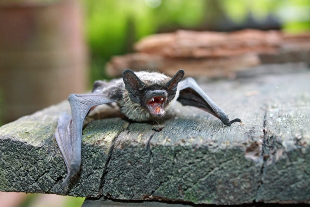 Most of the gray bat population reduction has happened from humans encroaching on their habitat.