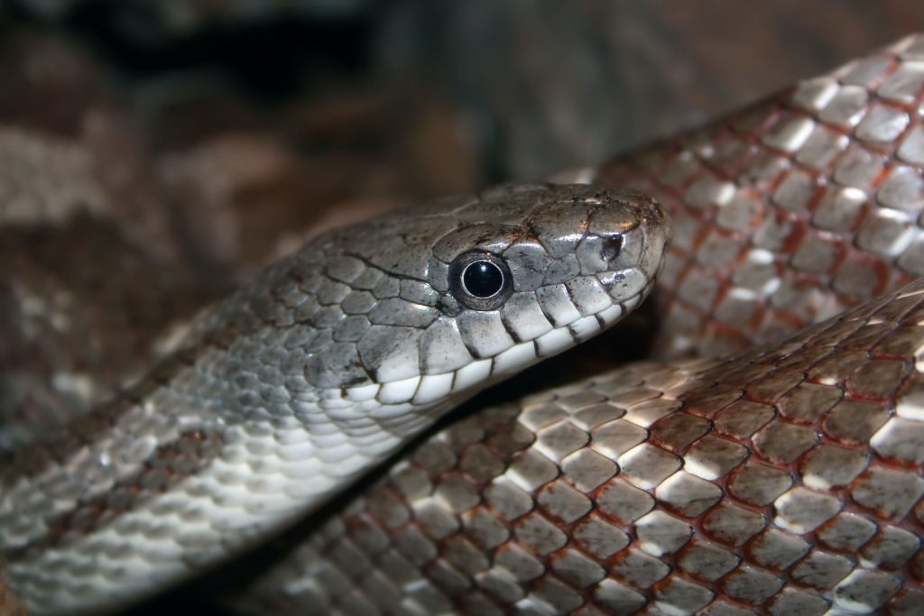 And while the name might make you think that the gray rat snake is small, it actually can grow to over six feet in length.