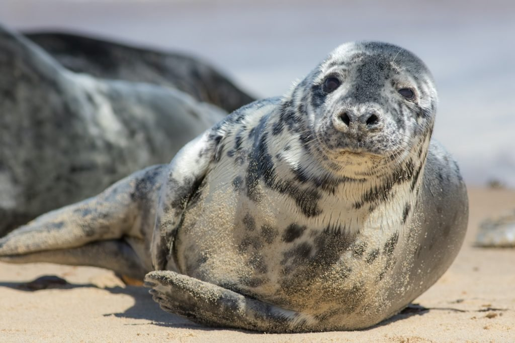 Interestingly enough, the color of a gray seal varies based on sex.