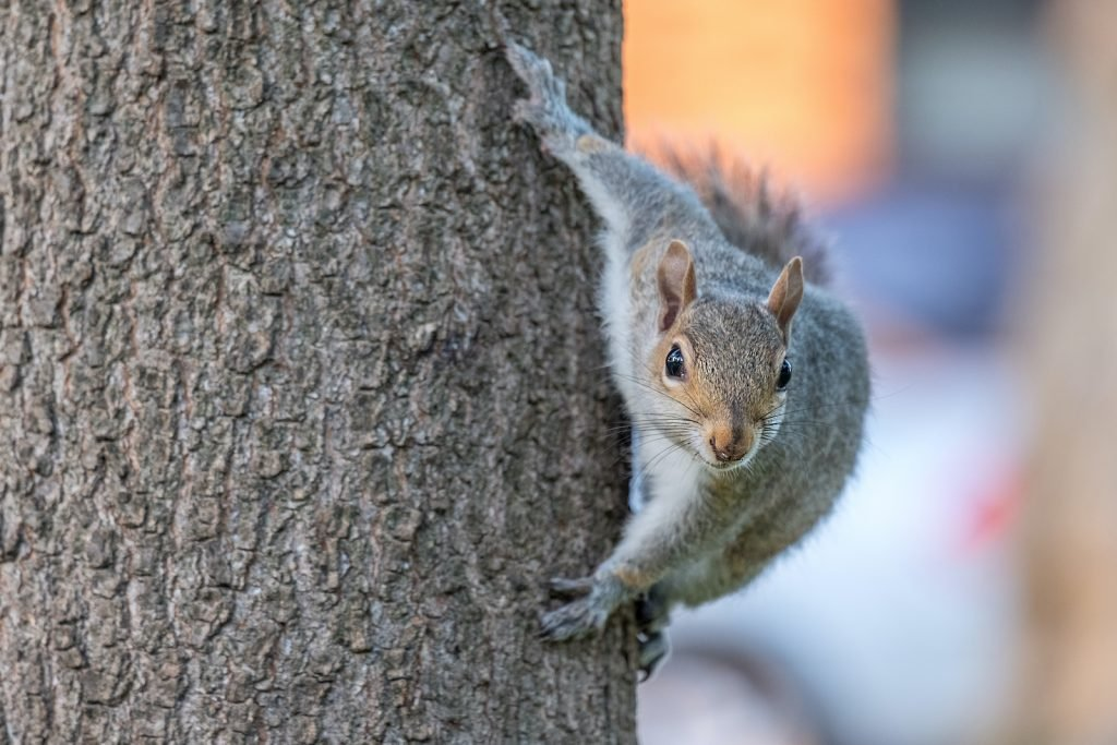 Gray squirrels can easily be recognized thanks to their short gray coats and long, bushy tails.