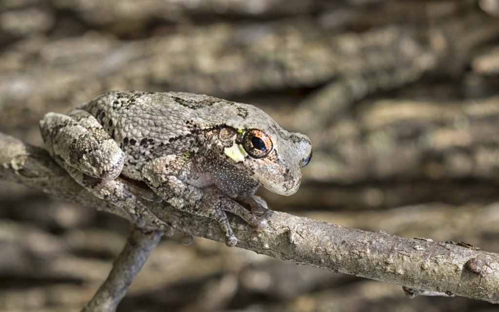 Gray Treefrogs are native to the eastern United States.