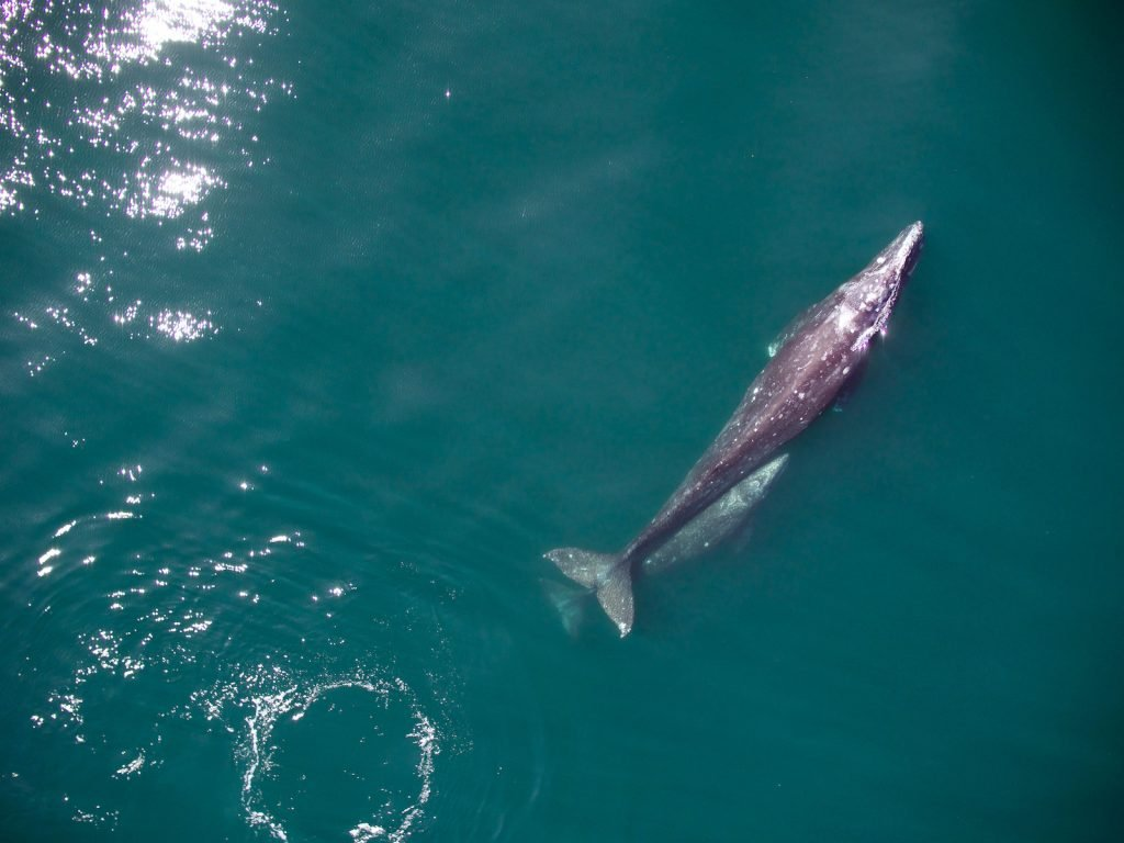 Gray whales are some of the largest creatures in the ocean.