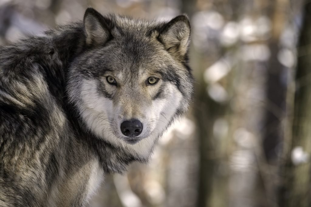 Despite their broad range, gray wolves are also an endangered species.